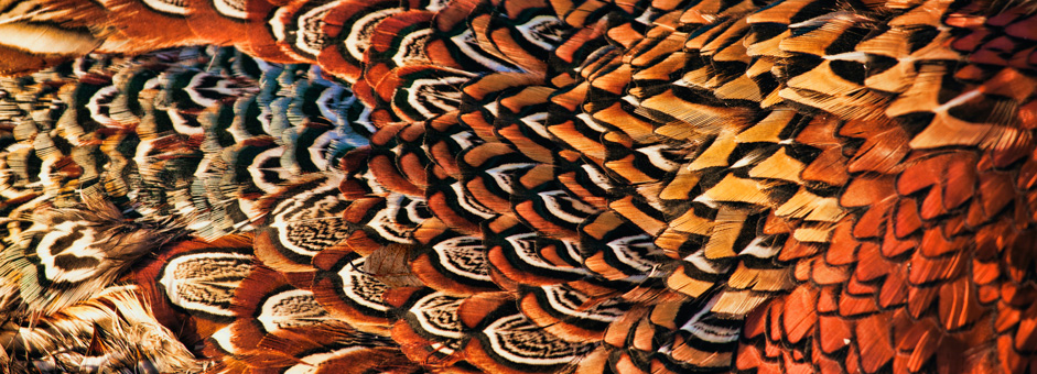 header-pheasant